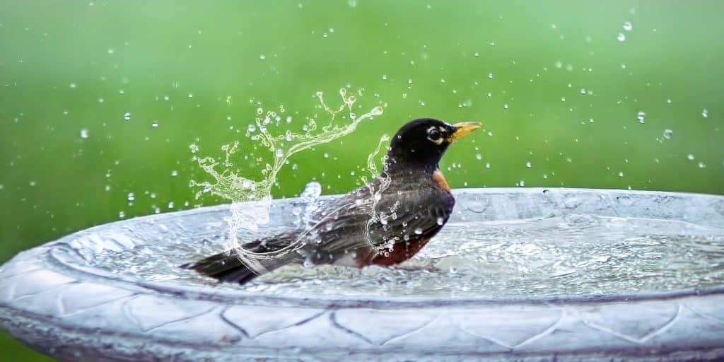 vogel baddert in schaal water