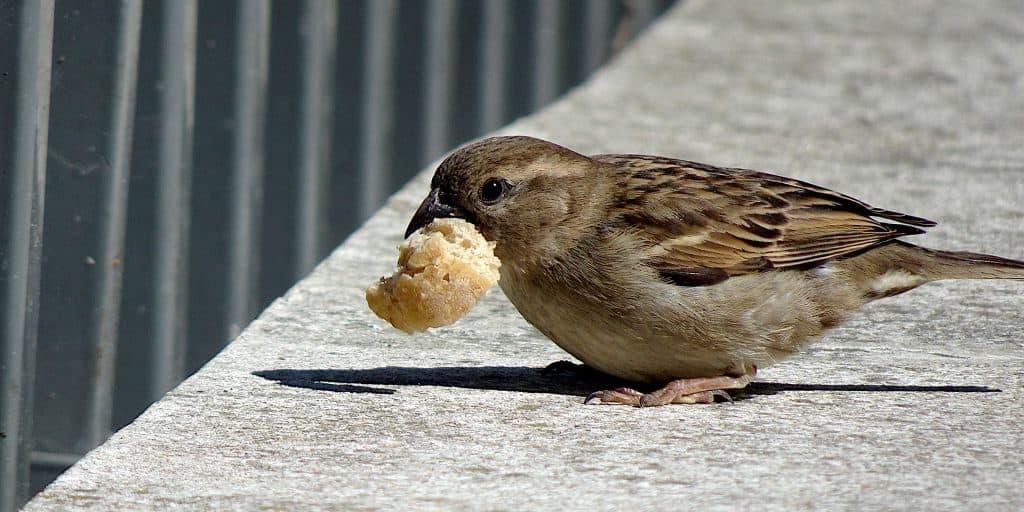 vogel eet broodkruimel